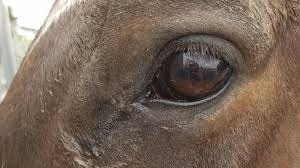 Iowa State University College of Veterinary Medicine Studying Immunocidin Equine in Two Types of Cancer