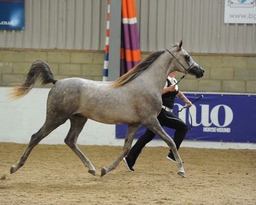 The Norfolk and Suffolk Arabian Horse Group Annual Show