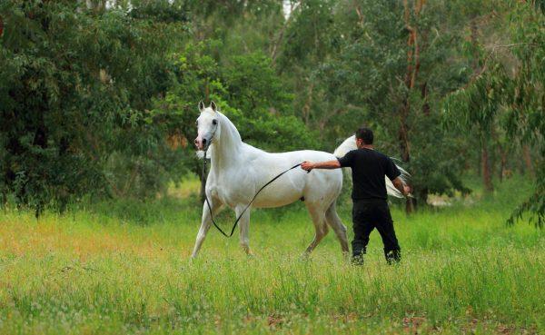 The Arabian Breeders' Magazine Laheeb