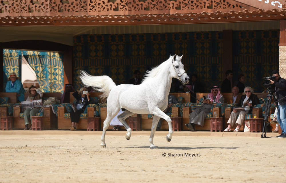 Celebrating the Breeders – The Royal Arabian Studs of Bahrain