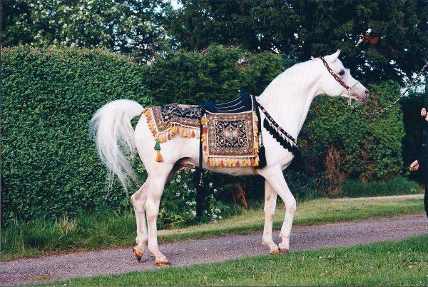 Mascat (Aswan x Malutka) with the Sire Produce Saddle