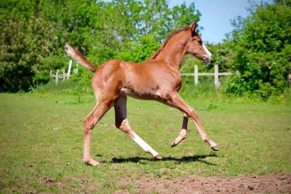 Eddie the Eagle Avonbrook Stud Arab Warmblood cross foal