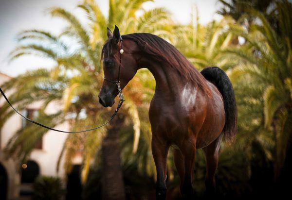 Herodotus Al Shiraa stallion Arabian Al Shiraa