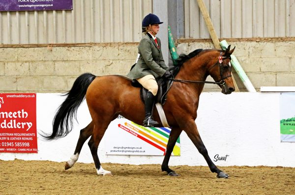 Ridden Arabian horse