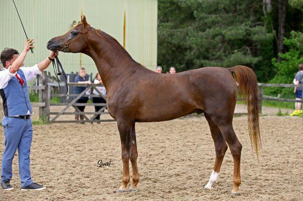 Skipinski Vivegas stallion