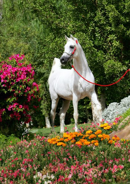 The fairytale stallion Farres