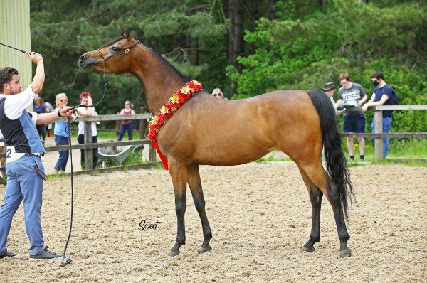 Venizwayla Arabian mare