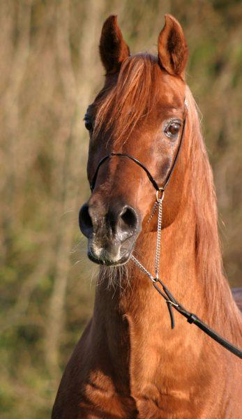 Artist Susan George Simon MacCorkindale Russian stallion Aswan