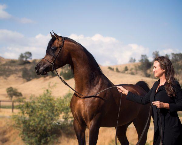 Om El Shawan Arabian stallion Om El Arab The Arabian Magazine FA El Rasheem
