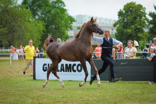 DS Fedor (EKS Alihandro x Fedora RG by WH Justice)