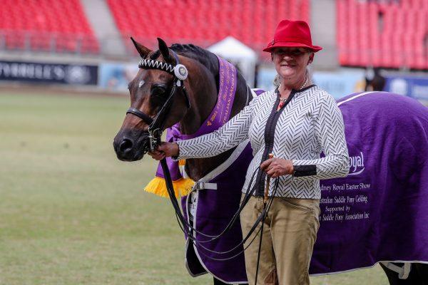 Arabian Riding Pony Harrington Park Dream Chaser was Best led Australian saddle Pony Gelding