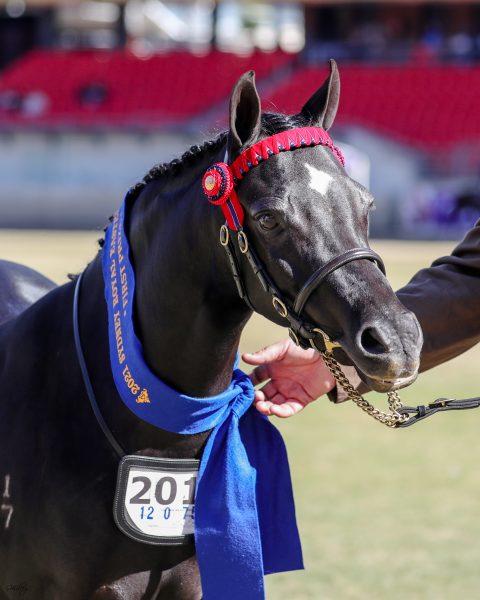Arabian Riding Pony Wilgos Pure Bliss R & J Hewitt winning Led Riding Pony Filly