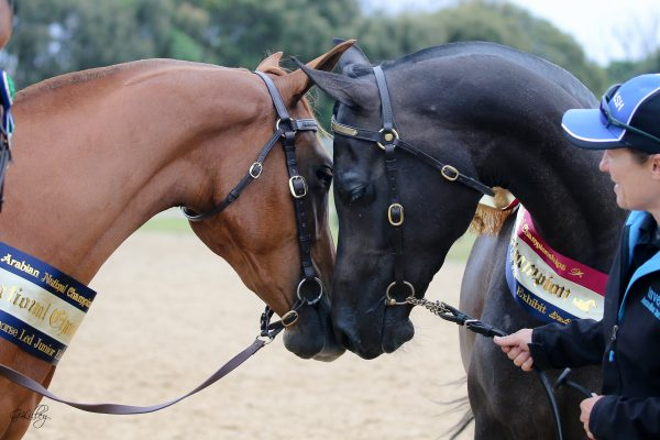 Inverdale Mahvellous Melody and Gemsfield Clementine Arabian Stockhorse Champions