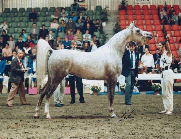 Atlantica (El Shaklan x Aliha), World and European Champion Mare for Lodge Farm Arabians and the Maxwells