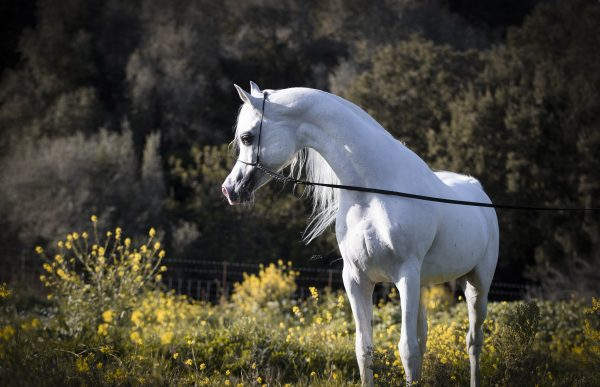 BK Latif owned by Al Shira'aa Arabians
