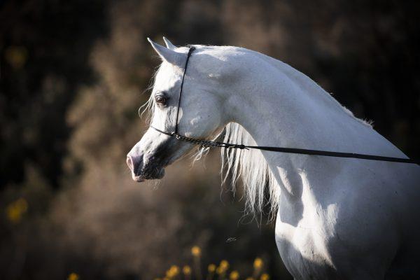 BK Latif Nader el Jamal Al Shira'aa Arabians