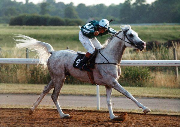Crusader (Salaa el Dine x AK Kastana) racing