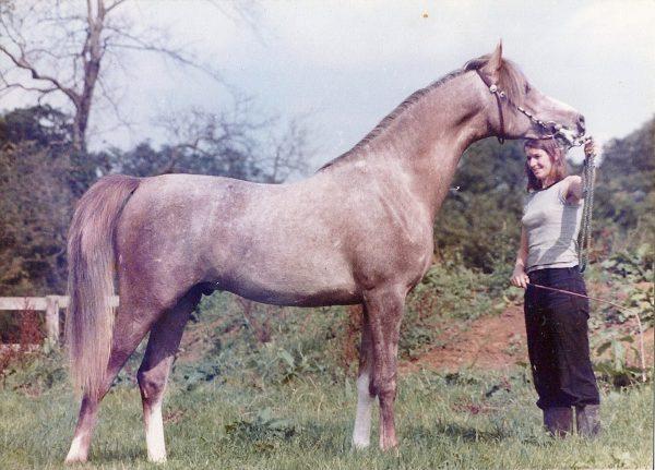 El Shaklan (Shaker el Masri x Estopa), British National Champion and International Champion in Belgium 1977