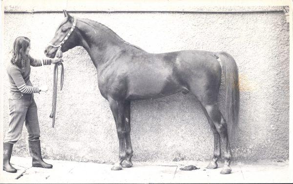 Fakhr el Kheil (Korayem x Bint Muneera) in 1974, the first Egypian stallion bought by a UK breeder