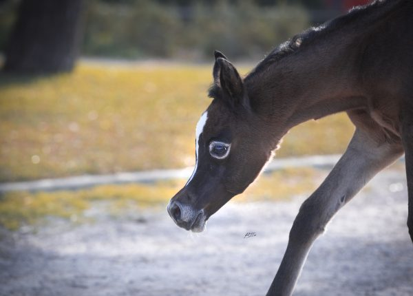 Filly by BK Latif out of Tamara Ismail