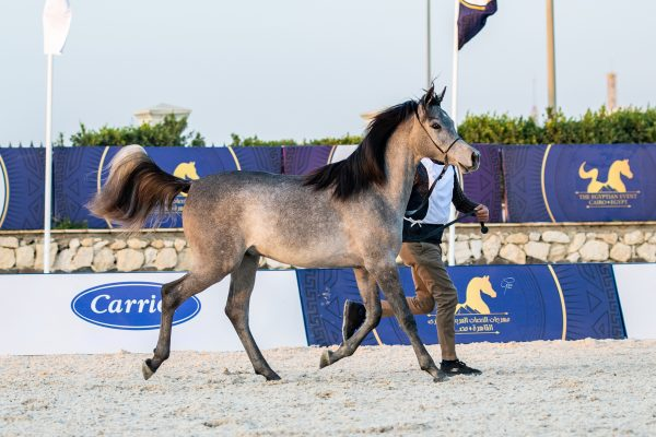 Hamad al Tarzy gold junior male