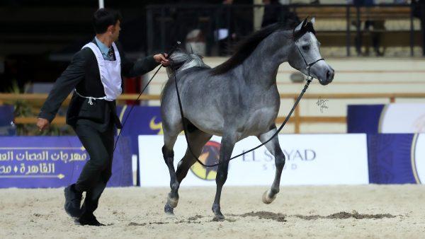 Hayman al Farazdak silver junior male