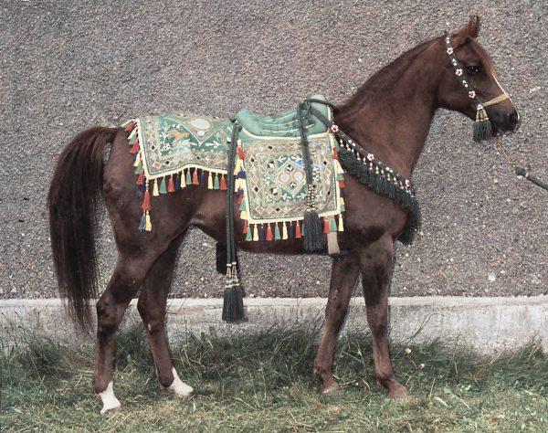Kazra wearing her Princess Muna Saddle of Honour