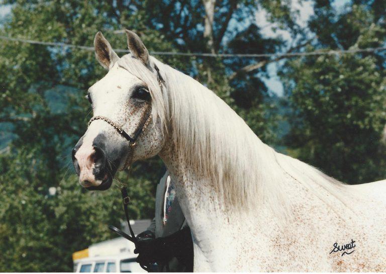 The Arabian Breeders' Magazine: The Breeders Interview – Holmes Farm Arabians, UK