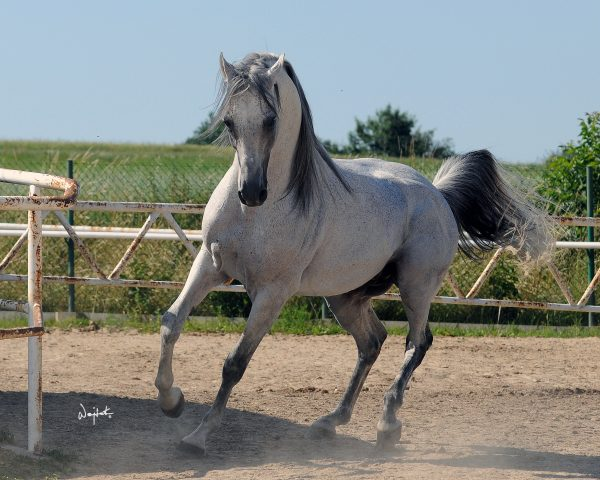 Polish stallion Ontario HF (Monarch AH x HF Orzonna)