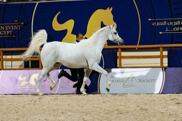 Madinat al Ashraaf Gold senior mare