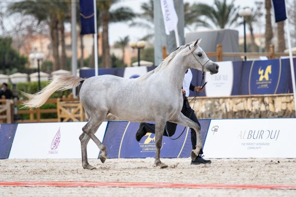Malika Badrawi Gold junior mare