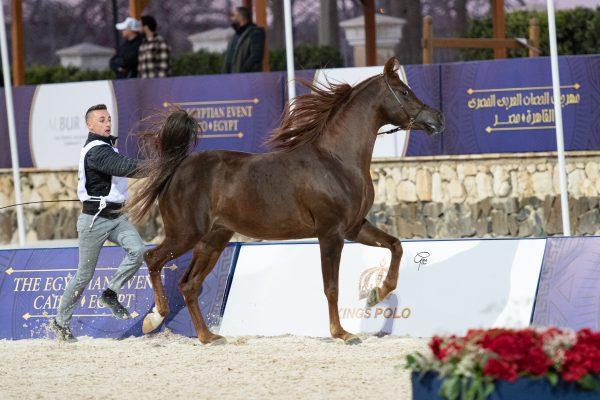 Mashhour Al Farida bronze intermediate male