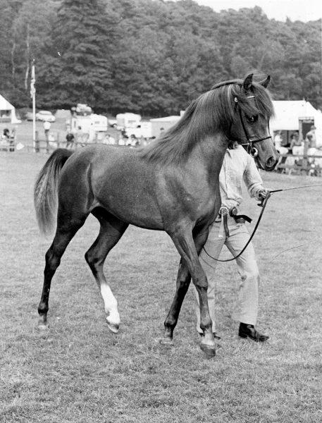 Maleik el Kheil (El Shaklan x Muneera) at Ascot in 1980 for Lodge Farm Arabians and the Maxwells