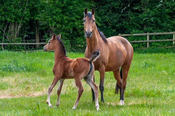 Minorella (El Bak x Minorka) with her Ontario HF filly foal, Little Mona.