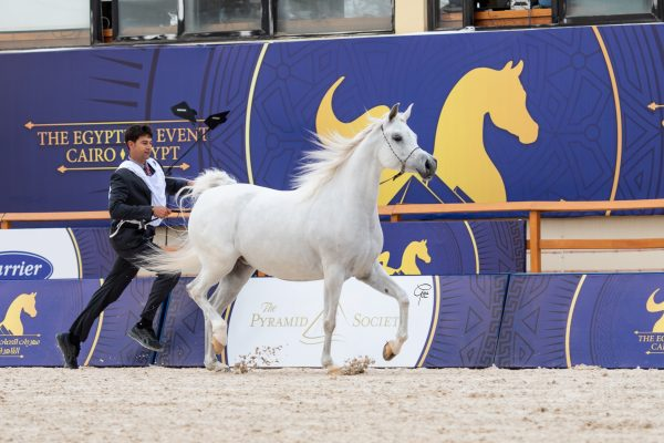 Sayeda Badrawi Silver Junior Mare