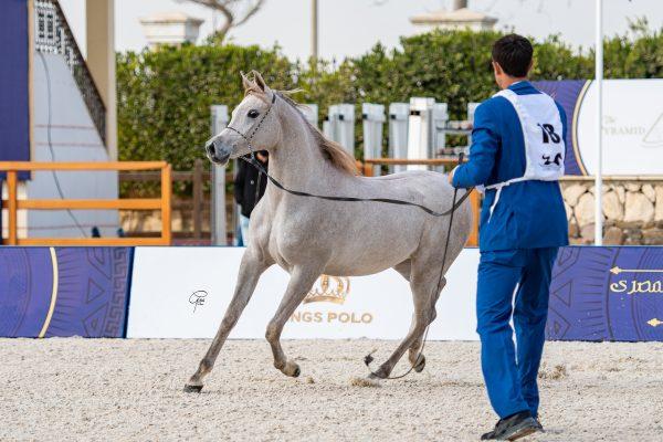 Sheikha Badrawi Silver Junior Filly