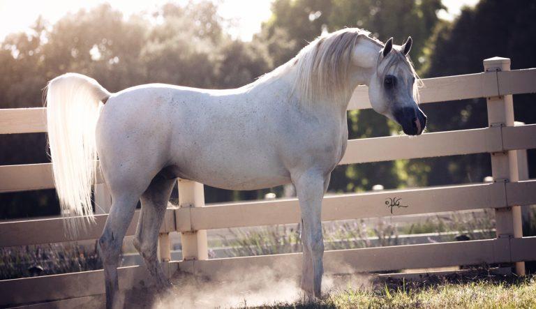 Cover Star: Om El Benicio – the Versatile Arabian stallion