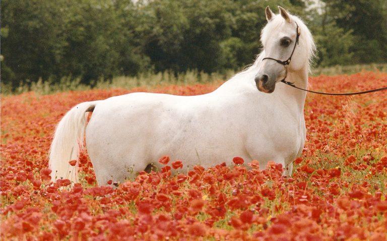 Lodge Farm Arabians Part I