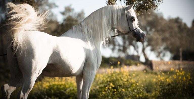 The Majesty of BK Latif – The Arabian Breeders' Magazine Cover Star